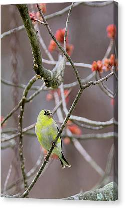 Canvas Print featuring the photograph Molting Gold Finch by Bill Wakeley