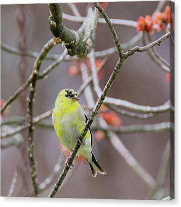 Canvas Print featuring the photograph Molting Gold Finch Square by Bill Wakeley