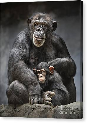 Chimpanzee Canvas Print - Mom And Baby by Jamie Pham