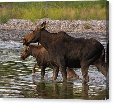 Mom And Baby Moose River Crossing Canvas Print by Mary Hone