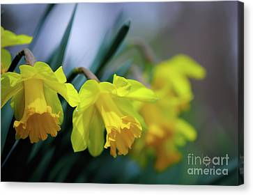 Canvas Print featuring the photograph Mom's Daffs by Lois Bryan