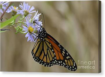 Monarch 2015 Canvas Print by Randy Bodkins