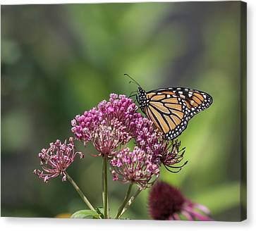 Monarch 2017-1 Canvas Print