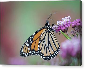 Monarch 2017-4 Canvas Print