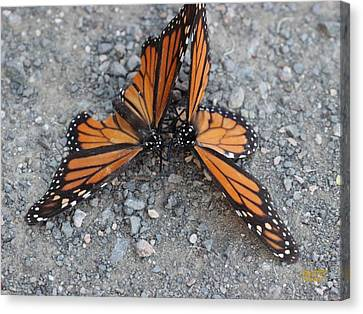 Monarch Afterglow Canvas Print