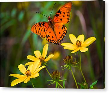 Monarch Among The Daisies Canvas Print by Parker Cunningham