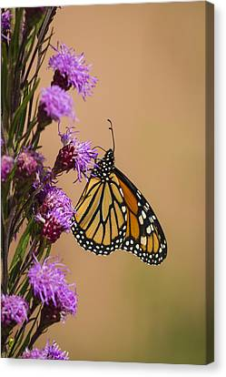 Monarch And Blazing Star 2013-1 Canvas Print by Thomas Young