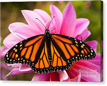 Monarch And Dahlia Canvas Print