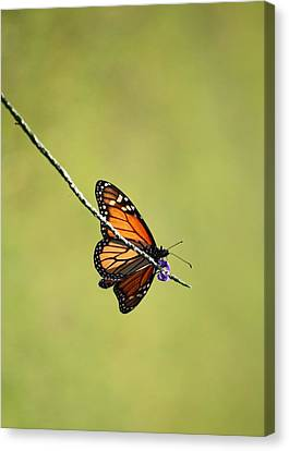 Monarch And Natural Green Canvas Canvas Print by Carol Groenen