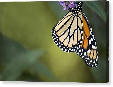 Canvas Print featuring the photograph Monarch Art by Elsa Marie Santoro