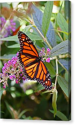 Monarch Butterfly 2 Canvas Print by Allen Beatty