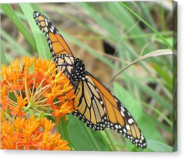 Canvas Print featuring the photograph Monarch Butterfly 3049 by Maciek Froncisz
