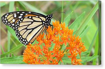 Canvas Print featuring the photograph Monarch Butterfly 3050 by Maciek Froncisz