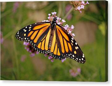 Monarch Butterfly Canvas Print by Beth Collins