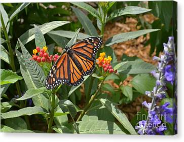 Canvas Print featuring the photograph Monarch Butterfly by Carol  Bradley