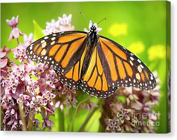 Canvas Print featuring the photograph Monarch Butterfly Closeup  by Ricky L Jones
