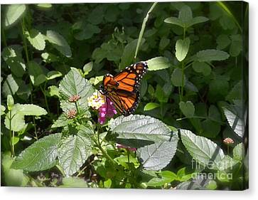 Canvas Print featuring the photograph Monarch Butterfly Feeding by Carol  Bradley
