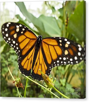 Monarch Butterfly II Canvas Print by Heiko Koehrer-Wagner