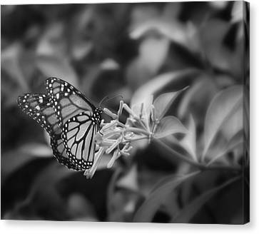 Monarch Butterfly In Black And White Canvas Print by Joseph G Holland