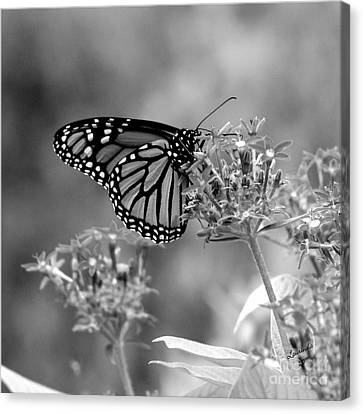 Monarch Butterfly In Bw Canvas Print by Laurinda Bowling