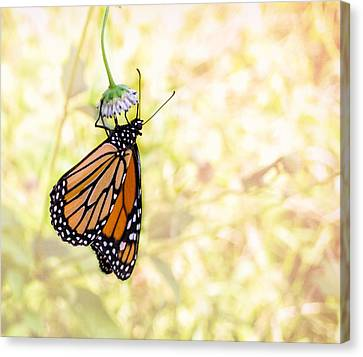 Monarch Butterfly Hanging On Wildflower Canvas Print