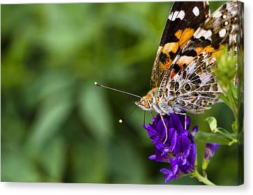 Monarch Butterfly Canvas Print by Marlo Horne