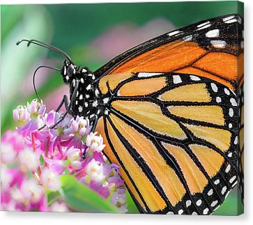 Monarch Butterfly On Milkweed Canvas Print by Jim Hughes