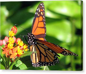 Monarch Butterfly On Milkweed Canvas Print