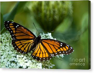 Monarch Butterfly On Queen Anne's Lace Flowers Canvas Print by Paul Velgos