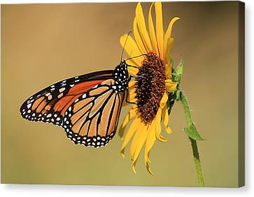 Canvas Print featuring the photograph Monarch Butterfly On Sun Flower by Sheila Brown