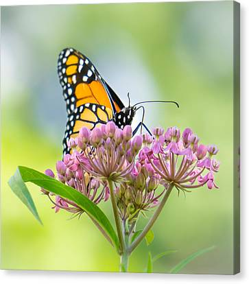 Monarch Butterfly On Swamp Milkweed Canvas Print by Jim Hughes