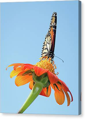 Canvas Print featuring the photograph Monarch I by Dawn Currie
