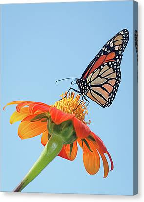 Canvas Print featuring the photograph Monarch II by Dawn Currie