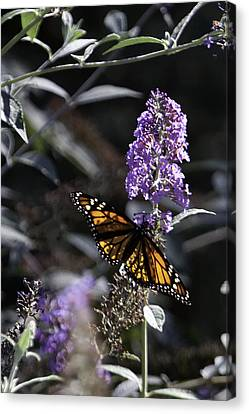 Monarch In Backlighting Canvas Print by Rob Travis