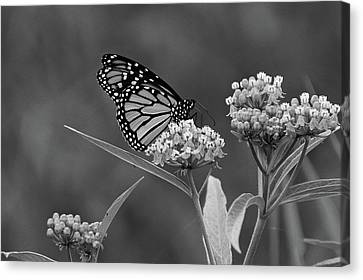 Monarch In Black And White Canvas Print