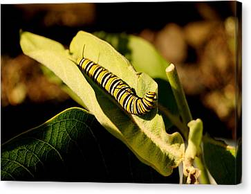 Monarch In Waiting Canvas Print by Beth Collins