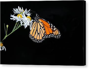 Monarch King Of Butterflies Canvas Print