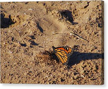 Monarch Canvas Print by Lori Kingston