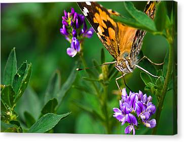 Monarch Canvas Print by Marlo Horne