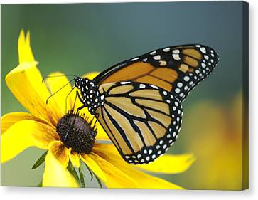 Monarch Canvas Print by Michael Peychich