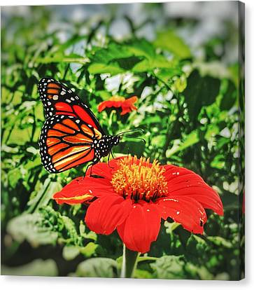 Monarch Of The Flowers  Canvas Print by Jame Hayes