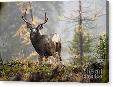 Monarch Of The Mountain Canvas Print