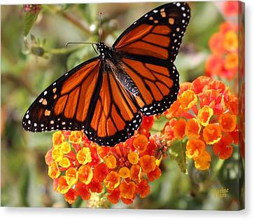 Monarch On 2 Flowers Canvas Print