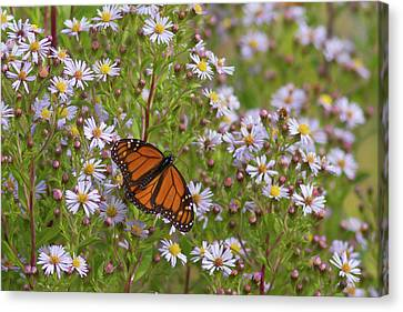 Monarch On Asters Canvas Print by Paul Rebmann