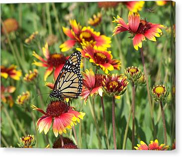 Canvas Print featuring the photograph Monarch On Blanketflower by Peg Urban