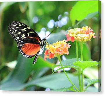 Monarch On Flower Canvas Print