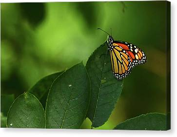 Canvas Print featuring the photograph Monarch On Leaf by Ann Bridges