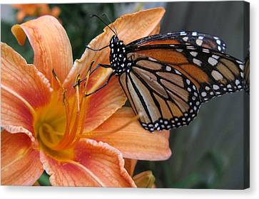 Monarch On Lily Canvas Print by Carol Sweetwood