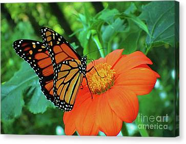 Monarch On Mexican Sunflower Canvas Print