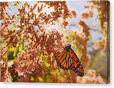 Monarch On Milkweed Canvas Print by Beth Collins